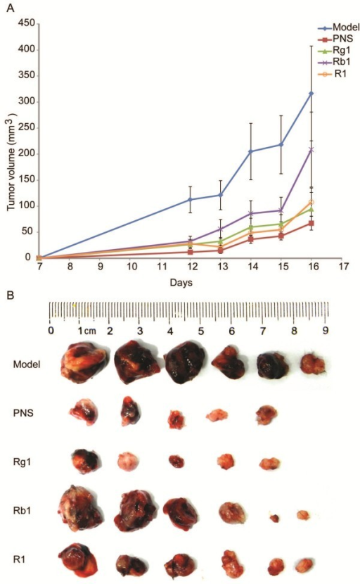 PNS or its major active components Rg1, Rb1, and R1 inhibited tumor growth in the complex mouse model. A. Growth curve of the tumor from vehicle-treated complex model (model), and PNS (150 mg/kg), Rg1 (50 mg/kg), Rb1 (50 mg/kg), R1 (10 mg/kg) treatment, respectively. Tumor volume (TV) (mm3) = (width2 × length)/2. B. Size of dissected tumor at the termination of experiment.