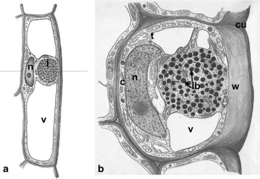 Scheme of O. umbellatum ovary epidermal cell from blooming flowers. a Longitudinal section of the cell; vertical line indicates the site of cross-section. b Cross-section of the cell at the site of lipotubuloid placement. c cytoplasm, cu cuticle, l lipotubuloid, lb lipid bodies, n nucleus, t tonoplast, v vacuole, w polysaccharide wall