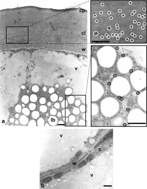Cross-sections of O. umbellatum ovary epidermis and parenchyma cells after immunogold reaction with anti-cutinsome antibody. a Part of an epidermal cell with lipotubuloid, the cuticular layer and lipotubuloid labelled with gold particles. Fragments of images in windows are shown to the right in higher magnification. Gold particles are highlighted with circles. b Fragment of parenchyma cells with cell wall lacking gold particles. c cytoplasm, cl cuticular layer, cp cuticle proper, lb lipid bodies, v vacuole, w cell wall. Scale bars, 0.5 μm (a), 1 μm (b)