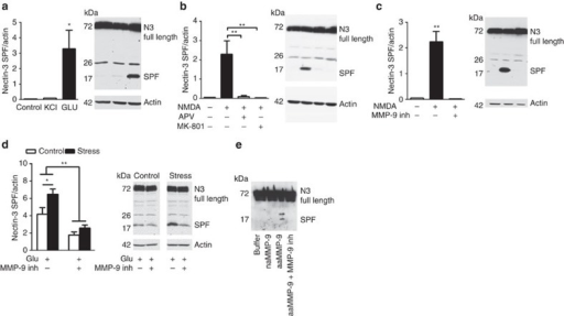 Nectin-3 cleavage is induced by glutamate and is NMDA- and MMP-9 dependent.Data in a–c are derived from three independent experiments. (a,b) Hippocampal neurons at day 7 were stimulated in vitro with KCl, glutamate or NMDA for 30 min in the presence or absence of inhibitors. Cleavage of full nectin-3 (83 kDa) results in the accumulation of a SPF (small proteolytic fragment). Nectin-3 cleavage was observed after glutamate and NMDA, whereas NMDA-induced nectin-3 shedding was inhibited in the presence of the NMDA-inhibitor APV (a: F2,6=6.25, P=0.04; b: F2,14=15.05, P<0.001). (c) Incubation of the hippocampal neurons with a MMP-9 inhibitor abolished the NMDA-induced nectin-3 cleavage (F2,13=13.76, P<0.001). (d) In synaptoneurosomes obtained from the CA1 from controls and stressed animals, we found that glutamate-induced nectin-3 shedding was more pronounced in stressed animals and that this effect could be prevented by application of a specific MMP-9 inhibitor (effect of stress: F1,28=33.71, P<0.0001; effect of MMP-9 inhibition: F1,28=7.797, P=0.0093, n=8 per group). (e) Cleavage of recombinant nectin-3 by MMP-9 in vitro. Recombinant nectin-3 was incubated with purified recombinant non-active MMP-9 (E402A), autoactivating MMP-9, autoactivating MMP-9 in the presence of 5 μM MMP-9 inhibitor, or no proteinase (buffer) as indicated. The digestion products were resolved by western blot analysis and probed with anti-His-Tag antibody. Error bars represent s.e.m. *P<0.05, **P<0.01 (one- or two-way analysis of variance followed by Bonferroni post hoc comparisons, where applicable).