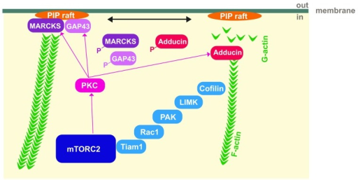 Figure 1. Model for the regulation of actin cytoskeletal dynamics by mTORC2. Activation of PKC by mTORC2 results in a phosphorylation of GAP-43-like proteins, MARCKS and GAP-43, which dissociate form PI(4,5)P2 rafts and make PI(4,5)P2 accessible for other actin cytoskeletal regulating proteins or hydrolysis. In parallel, PKC causes free-barbed actin filament ends by phosphorylating adducin which promotes actin dynamics. Association of mTORC2 with Tiam1 and the regulation of its downstream targets may also contribute to actin filament stabilization. In this model, mTORC2 affects depolymerization and polymerization of actin at different sites by controlling PKC- and Tiam1-signaling.