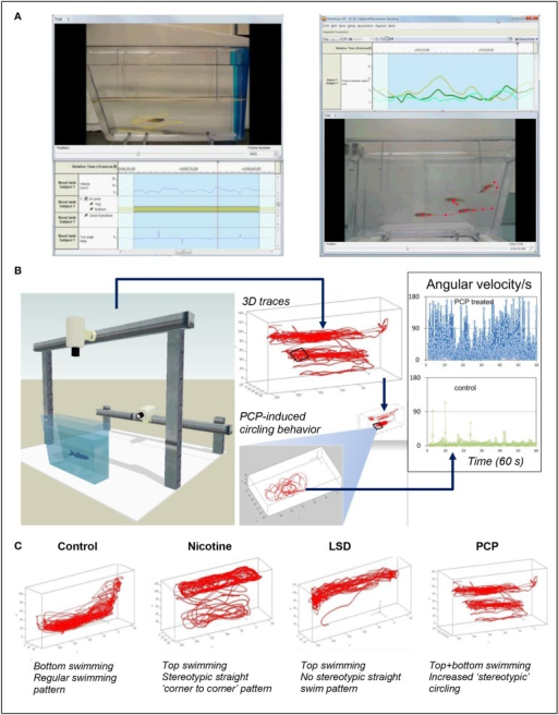 The use of video-tracking tools to assess neural phenotypes in zebrafish. (A) Shows video-tracking of an individual zebrafish (left) or a zebrafish group (shoal, right); side view vide-recording in the novel tank test. Tracking individual fish with one camera in 2D, or with two cameras in 3D, can generate up to 50–60 individual endpoints (see Supplementary Table 1S online for examples) which can be sensitive to neuroactive properties of the drugs. Tracing selected endpoints in zebrafish shoals, such as assessing the average inter-fish distance and velocity, is also possible in zebrafish models (Green et al., 2012) (although more sophisticated computer tools and optimized animal tagging methods are needed to monitor each individual fish within the group). (B) Illustrates the potential of 3D behavioral video-tracking in zebrafish to predict drug pharmacology (also see Soleymani et al., 2014). In this example, top swimming combined with elevated angular velocity in zebrafish treated with a hallucinogenic drug phencyclidine (PCP, inset) shows a striking difference from control fish, supporting the value of various computer-based neural phenotypes for predicting the pharmacological profile of different CNS-active compounds. (C) Shows examples of representative 3D phenotypes for control fish and animals acutely exposed to several CNS drugs. LSD, Lysergic acid diethylamide (images: courtesy of Noldus IT, Netherlands, in collaboration with the Kalueff Laboratory, Stewart et al., 2014a). Note distinct patterns of locomotion evoked by drugs from different pharmacological classes (also see Cachat et al., 2011, 2013; Soleymani et al., 2014 for discussion).