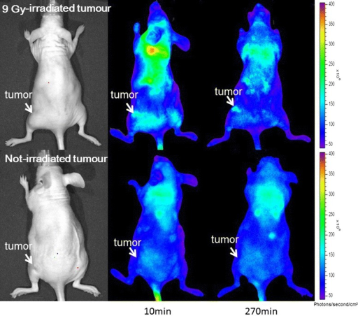 Doxorubicin fluorescence imaging. The upper section indicates an image of the 9-Gy-irradiated mouse. The lower section indicates an image of the not-irradiated mouse. The tumour site of the 9-Gy-irradiated mouse showed sufficient accumulation of doxorubicin in the upper section, whereas that of the not-irradiated mouse showed no significant accumulation of doxorubicin.