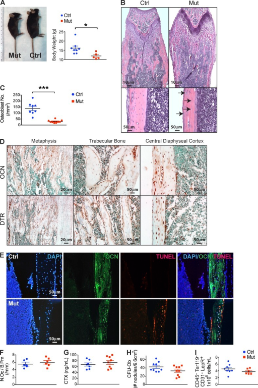 Ocn+ cell–specific deletion in vivo without altering osteoclastogenesis and mesenchymal progenitors. (A) WT mice (Ctrl) Ocn+ osteolineage cell deletion mice (Mut) were monitored for body size and weight; n = 8–10 mice/group. Data show mean ± SEM. (B) Femurs and tibiae in the OcnCre+/−;iDTR mutants or WT (Ctrl) mice were assessed histologically. Bottom images are at a higher magnification with arrows pointing to empty lacunae within the cortex and altered endosteal surface; images reflect comparable findings in all animals; n = 8/experiment. (C) Osteoblasts in the OcnCre+/−;iDTR and WT mice were quantitated by histomorphometry; n = 7–8 mice/group. Data show mean ± SEM. (D and E) Ocn and DTR expression was examined in bone sections from untreated OcnCre+/−;iDTR by immunohistochemistry using Ocn- and DTR-specific antibodies (D), or by immunofluorescence using Ocn-specific antibodies and TUNEL staining after DT treatment (E); n = 6 mice/group. (F) Osteoclast numbers were assessed by TRAP staining (n = 6 mice/group) and (G) osteoclast activity by collagen breakdown in sera using ELISA assay; n = 7–8 mice/group. Data show mean ± SEM. (H) Mesenchymal progenitor activity in the bone marrow of OcnCre+/−;iDTR mutants or WT controls was assessed by CFU-Ob assay; n = 9 mice/group. Data show mean ± SEM. (I) CD31−CD45−Ter119−LepR+ cells in the bone marrow stroma of OcnCre+/−;iDTR mutants and controls were quantified by flow cytometry; n = 6–7 mice/group. Data show mean ± SEM. (A–I) For each experiment, 3–6 independent repeats were performed.