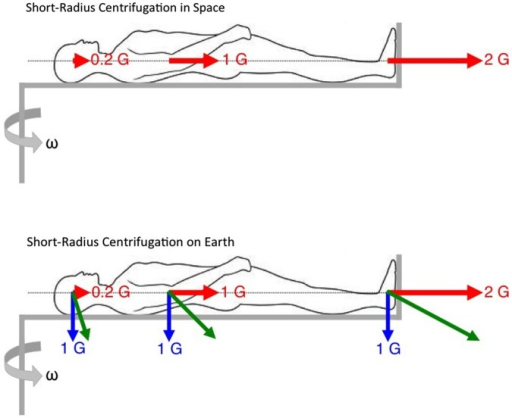 Constraints for short-radius centrifugation. On Earth, the actual forces exerted on the body during centrifugation are the resultant of the gravitational force (in blue) and the centrifugal (inertial) forces (in red). These gravito-inertial forces (in green) are larger than 1 G and tilted relative to vertical. In space, the centrifugal forces are the only forces generated by centrifugation and aligned with the longitudinal body axis. Note also the gravity gradient, i.e., the different magnitude of centrifugal force along the longitudinal body axis.