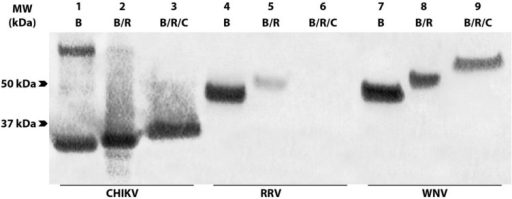 Reactivity of anti-CHIKV CP mAbs against boiled, reduced and/or carboxymethylated CHIKV cell lysates. Boiled (B), boiled and reduced (B/R) or boiled, reduced and carboxymethylated (B/R/C) lysates of CHIKV (lanes 1–3), RRV (lanes 4–6) and West Nile virus (lanes 7–9) were probed with antibodies 1.7B2 (anti-CP), RRG8 (anti-E1) and 17D7 (anti-E), respectively, in Western blot. RRV and West Nile virus lysates were included as controls to illustrate binding of reference antibodies known to recognize conformational (RRG8) and linear epitopes (17D7) respectively.