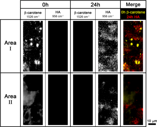 Time-lapse Raman images of β-carotene (1526 cm−1) and HA (956 cm−1) in two different areas of the osteoblasts.Merged images of 0 h β-carotene (yellow) and 24 h HA (red) Raman images are shown in the last column.