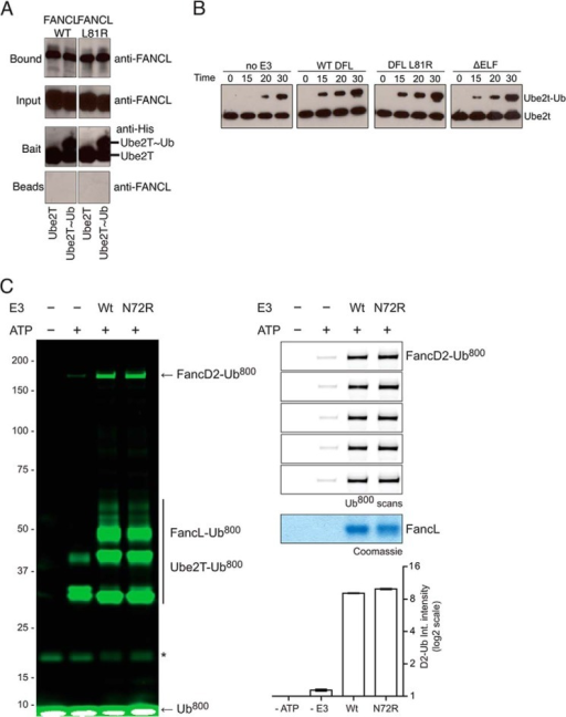 Ubiquitin binding is not required for E2 recognition.A, pull-down analysis of the interaction between wild type and L81R Drosophila FANCL and human Ube2T or Ube2T-Ub. Both FANCL species bound Ube2T and Ube2T-Ub to the same extent. B, Western blot analysis of Ube2T autoubiquitination in the absence and presence of Drosophila FANCL WT, L81R, and ΔELF species. All variations of E3 were able to successfully stimulate discharge of ubiquitin from Ube2T onto itself. C, in-gel fluorescence analysis of in vitro FANCD2 monoubiquitination (left). Ubiquitin is fluorescently labeled, with no ATP and no E3 controls, showing the modification of FANCD2. The right panel shown 5 independent replicates, with a Coomassie-stained loading control, and quantification of the level of FANCD2 ubiquitination (bottom).