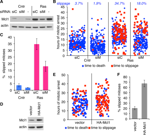 Increased Mcl1 Is Responsible for H-RasV12-Enhanced Mitotic Slippage(A) Mcl1 depletion by siRNA in control (Cntr) or induced (Ras) ERRAS cells. siC, non-targeting siRNA; siM, Mcl1-targeting siRNA; -, no transfection. Actin is a loading control.(B) Time-lapse analysis of duration and outcome of individual mitoses in control (Cntr) or 4-day-induced (Ras) ERRAS cells transfected with either Mcl1-targeting (siM) or non-targeting (siC) siRNA, treated with DME for 3 days. 207–337 mitoses per condition. Percentage of slippage is shown at top.(C) Percentage of mitotic slippage quantified from (B). Data indicate mean ± SEM from three biological replicates, 63–115 mitoses each.(D) Mcl1 level in ERRAS cells infected with retrovirus expressing HA-Mcl1 or vector only. Actin is a loading control.(E) Time-lapse analysis of duration and outcome of individual mitoses in DME-treated HA-Mcl1 or vector-expressing uninduced ERRAS cells, 141–165 mitoses per condition.(F) Percentage of mitotic slippage quantified from (E). Data indicate mean ± SEM from three replicates, 43–61 mitoses each.