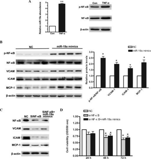 NF-κB signaling pathway is activated when miR-19a is overexpressed in the MGC-803 human gastric carcinoma cell line. (A) Reverse transcription-quantitative polymerase chain reaction was used to determine the relative levels of miR-19a when MGC-803 cells were treated with 10 ng/μl TNF-α for 48 h. (B) Western blot analysis of NF-κB activation and its downstream regulators when miR-19a was overexpressed. (C) Western blot analysis of siRNA targeting NF-κB. (D) MTT assay demonstrated a low cellular proliferation rate in cells cotransfected with si-NF-κB and miR-19a mimics. Data are presented as the mean ± standard error of three independent experiments. *P<0.05, vs. control. TNF-α, tumor necrosis factor-α; NF-κB, nuclear factor-κB; VCAM, vascular cell adhesion molecule; ICAM, intercellular adhesion molecule; MCP, monocyte chemoattractant protein; miR, microRNA; si, small interfering; p-, phosphorylated; NC, negative control; Con, control.