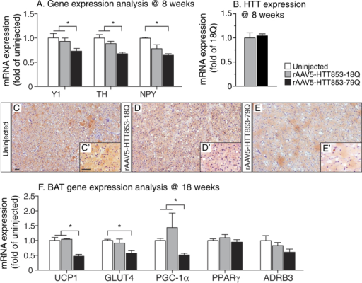 Gene expression changes in the metabolism-regulating dopaminergic circuitry to brown adipose tissue induced by mutant HTT expression in the hypothalamus.(A) mRNA levels of Y1, TH and NPY in the hypothalamus at 8 weeks post-injection (n = 7/group, *p < 0.05, one-way ANOVA followed by Tukey's post-hoc test). Data was normalized to mRNA of actb and gapdh house keeping genes and presented as a fold change in relation to uninjected animals. (B) Similar mRNA levels of HTT853-18Q and HTT853-79Q after the injections of the viral vectors in the hypothalamus. The data is presented as fold change of HTT853-18Q (n = 5–7/group, ns, unpaired t-test). (C–E) Qualitative analysis of BAT at 18 weeks post-injection. The Oil Red O staining shows the increased prevalence of intracellular lipid droplets (red) and reduced number of nuclei (blue) in rAAV5-HTT853-79Q group compared to uninjected and rAAV5-HTT853-18Q animals. (F) Assessment of mRNA level changes in BAT in animals injected in the hypothalamus with either rAAV5-HTT853-18Q or rAAV5-HTT853-79Q. Data is presented as mean ± SEM of fold change in relation to uninjected animals after normalization to mRNA levels of actb and rlp13a housekeeping genes (n = 6/group, *p < 0.05, Kruskal-Wallis test followed by Dunn's multiple comparison test). 3V = 3rd ventricle. Scale bar = 50 μm in all panels.