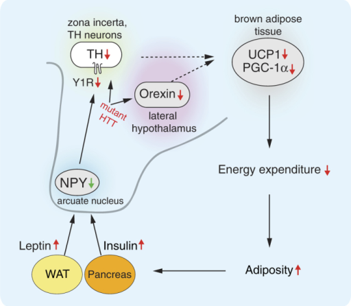 A proposed model of the effect of mutant HTT expression in the hypothalamus on the metabolic circuitry to BAT.BAT: brown adipose tissue; HTT: huntingtin; NPY: neuropeptide Y; PGC1-α: peroxisome proliferator-activated receptor gamma coactivator 1-alpha; TH: tyrosine hydroxylase; UCP1: uncoupling protein 1; WAT: white adipose tissue, Y1R: neuropeptide Y receptor Y1.