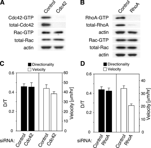 Suppression of Cdc42 or RhoA expression does not affect directional persistence of cell migration. (A and B) Specificity of Cdc42 and RhoA knockdowns. (A) 3 d after transfection of primary human fibroblasts with 100 nM Cdc42 siRNA, total Cdc42 protein levels were assayed by Western blotting with antibodies against Cdc42 in lysates of the transfected (Cdc42) and control cells treated with nonspecific siRNA (Control). Cdc42 siRNA led to a substantial decrease of both Cdc42 protein levels (total-Cdc42) and Cdc42 activity (Cdc42-GTP) by pull-down assay, whereas the activity and total amount of Rac in the same lysates (Rac-GTP and total-Rac) were not affected. (B) Primary human fibroblasts were transfected with 100 nM RhoA siRNA (RhoA) or nonspecific siRNA (Control). 3 d later, Rho protein levels were determined by Western blotting with antibodies against Rho. Although the levels of other Rho family members were not affected, the amount and activity of RhoA were substantially decreased. (C) After knockdown of Cdc42 by >80%, there were no significant changes in the D/T directionality ratio (D/TControl = 0.46 ± 0.03 and D/TCdc42 = 0.46 ± 0.05; PD/T = 0.89) or the velocity (VContr = 44.4 ± 3.9 μm/h and VCdc42 = 38.6 ± 2.1 μm/h; PV = 0.18). (C and D) Error bars represent the SEM. (D) Suppression of RhoA expression affects the velocity of migration but not directionality. After reducing RhoA levels by at least 60% using siRNA, velocity of cell migration was reduced by 40% (VContr = 34.4 ± 2.4 μm/h and VRhoA = 20.8 ± 1.4 μm/h; P < 0.0001), but directional persistence of migration was unaffected (D/TControl = 0.44 ± 0.03 and D/TRhoA = 0.42 ± 0.03; P = 0.74).