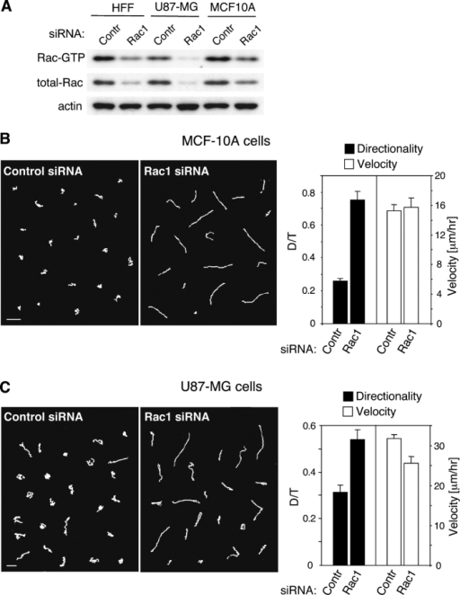Suppression of Rac1 results in increased directional persistence of migration in human epithelial and glioblastoma cells. (A) Comparison of total and active Rac levels in three cell lines and effects of knockdown by Rac1 siRNA. Primary human foreskin fibroblasts (HFF), U87-MG human glioblastoma cells, and MCF-10A human mammary epithelial cells were transfected with 50 nM Rac1 pool siRNA or control siRNA, and then assayed for total and active Rac levels. (B) MCF-10A cells transfected with Rac1 siRNA migrate with much higher directional persistence with no change in velocity. MCF-10A cells were transfected with 50 nM Rac1 or control siRNA, detached with trypsin 72 h after transfection, replated at single-cell density, and recorded by time-lapse video microscopy. Suppression of Rac1 expression (Rac1 siRNA) induced straightening of cell migration tracks when compared with the cells transfected with the nonspecific siRNA (Control siRNA). Bar, 100 μm. The quantified directionality of Rac1 siRNA transfected cells (Rac1) increased threefold compared with cells transfected with control siRNA (Contr) (D/TControl = 0.26 ± 0.02 vs. D/TRac1 = 0.76 ± 0.05; P < 0.0001), whereas the velocities remained comparable (VContr = 15.3 ± 0.8 μm/h vs. VRac1 = 15.7 ± 1.3 μm/h; P = 0.79). (C) U87-MG cells transfected with Rac1 siRNA lose random motility and migrate with greater directionality. U87-MG cells were transfected with 200 nM Rac1 siRNA, and after 3 d, cell migration was recorded. Bar, 100 μm. Rac1 suppression resulted in a significant increase in directionality (D/TControl = 0.31 ± 0.03 vs. D/TRac1 = 0.54 ± 0.04; P < 0.0001) and a slight decrease in velocity (VContr = 31.6 ± 1.0 μm/h vs. VRac1 = 25.5 ± 1.6 μm/h; P < 0.005).