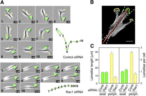 "Suppression of Rac reduces the number of peripheral lamellae and changes in direction of cell migration. (A) Primary human fibroblasts transfected with control or Rac1 siRNA were recorded by time-lapse video microscopy. Phase-contrast micrographs and migration paths of two representative cells are shown at 1-h intervals. Green arrowheads indicate lamellae extending in the direction of cell movement. Yellow arrowheads show lamellar protrusions in other directions. Green arrows in the diagrams to the right of the micrographs indicate the direction and distance of cell movement each hour. (B and C) Quantification of Rac-dependent lamellae in an axial versus a peripheral location. The main cell axis was determined as the longest distance between the ends of each cell (continuous red line in the image of a cell stained for F-actin). Two zones were defined as follows: ""axial"" was within 20° of the main axis (area between the dashed white lines) and ""peripheral"" was anything lateral to this zone. The length of total membrane in all lamellae of each cell and the number of lamellae per cell were determined for axial (green) compared with peripheral (yellow) lamellae in cells transfected with control (Contr) and Rac1 (Rac1) siRNA and presented as mean values ± SEM. Bar, 20 μm."