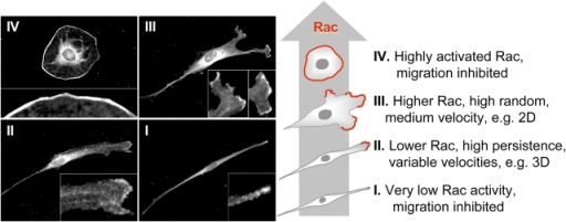 Four stages of Rac-GTP regulation of cell morphology and types of cell motility. The amount of Rac localized in lamellae as shown by anti-Rac1 antibody localization (left) and depicted schematically in the diagram (red) with increasing levels of Rac activation (broad gray arrow) from state I to state IV. Increased levels of total cellular active Rac produce characteristic increases in the extent of random cell motility accompanied by varying velocities of cell migration in 2D versus 3D culture or after experimental manipulations of Rac activity. Rac activation that is too low or too high leads to immobilization, with stunted lamellae at low levels and continuous, circumferential lamellae or cell rounding at very high levels (Discussion). The cells shown in the examples were primary human fibroblasts stained for Rac1 after culturing on a 2D substrate (state III) or in a 3D matrix (state II) compared with effects of extensive knockdown of Rac1 using 200 nM Rac siRNA (state I) or overexpression of constitutively activated Rac QL after transient transfection (state IV).