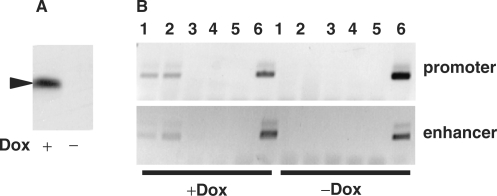 Chromatin-immunoprecipitation experiment. (A) Western blot analysis of Myb expression in HD11-E cells grown in the presence or absence of doxycyclin. The black arrow marks the v-MybREV protein. (B) Chromatin immunoprecipitation experiment using HD11-E cells grown in the presence (left part) or absence (right part) of doxycyclin. Immunoprecipitation was carried out using two different Myb-specific antisera (lanes 1 and 2), non-immune serum (lane 3) or no antiserum (lane 4). Lane 5 shows no-template controls and lane 6 shows input controls. PCR primers were specific for the lysozyme gene promoter and the −2.7 kb enhancer. PCR products were analyzed by agarose gel electrophoresis.