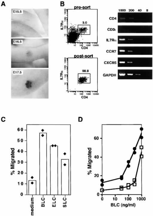 Chemotactic activity of BLC, ELC, and SLC on CD4+CD3−IL-7Rα1 cells. (A) Whole-mount immunostaining analysis of E15.5, E16.5, and E17.5 gut with anti-CD4 mAb. (B) RT-PCR analysis on CXCR5 and CCR7 in FACS®-sorted CD4+CD3−IL-7Rα1 cells from intestine at E17.5. The numbers of cells subjected to RT-PCR are 1,000, 200, 40, and 8 cells from left to right in each panel. Specific primers for CD4, IL-7Rα, and CD3-ε were used as positive and negative controls. (C) CD4+ cells were prepared with Dynabeads and placed in the chemotaxis chamber in duplicates. ELC and SLC maximally attracted CD4+ cells at 100–300 ng/ml. Results are expressed as the percentage of input cells migrating to the lower chamber containing BLC (1 μg/ml), ELC (300 ng/ml), or SLC (300 ng/ml). Data from individual wells are shown as filled diamonds and means as bars. The results are representative of three independent experiments. (D) Chemotactic response to BLC by CD4+ cells from intestine at E17.5 (filled circles) or B cells from Spl (open squares). Lines represent the averages of duplicated Transwells. The results are representative of at least three independent experiments.