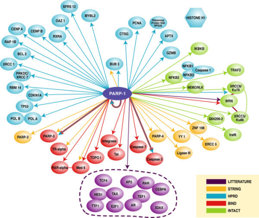 The biochemical and physical protein interaction network for PARP-1. This figure is a summary of the results of the protein-protein interaction databases and literature searches for PARP-1 substrates and cooperators. This figure is a hand-drawn representation from the interaction viewer.