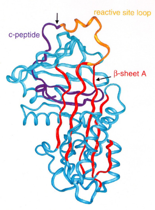 Structure of alpha-1-antitrypsin: 3 β-sheets and 8 α-helixes. The reactive loop site contains the neutrophil elastase binding site with a methionine residue. Reprinted from Janciauskiene S. Conformational properties of serine proteinase inhibitors (serpins) confer multiple pathophysiological roles. Biochim Biophys Acta, 2001, 1535:221-35. Copyright © 2001, with permission from Elsevier.