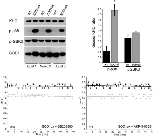 p38 mediates the inhibition of anterograde FAT induced by SOD1ox(a) Immunoblotting analysis using activation-specific phosphoantibodies reveals a marked activation of p38 (p-p38) in axoplasms perfused with recombinant oxidized SOD1 (SOD1ox), compared to those perfused with recombinant unmodified WT-SOD1 (WT). In contrast, no changes were found in the activities of ERK (pERK) and GSK3 (pGSK3) in association with a specific SOD1 species. A monoclonal antibody against SOD1 (D3H5) 22 confirmed similar levels of SOD1 perfusion, and antibodies against kinesin-1 (KHC) provided a loading control for total levels of axoplasmic protein. Results from three independent experiments are shown (Squid 1-3). (b) Quantitation of results in (a) reveals an approximately 4-fold increase in the phosphorylation of p38 kinase (indicative of p38 activation) in SOD1ox-perfused axoplasms, compared to unmodified WT-SOD1-perfused axoplasms (n=6, P<0.05 (*) by the pooled t-test of μ1-μ2). Error bars reflect the standard error of multiple measurements. Co-perfusion of the highly specific p38 inhibitors SB203580 (c) and MW01-2-069SRM (d) blocked the inhibitory effect of SOD1ox on anterograde FAT (compare to Fig. 4c). Similarly, FALS-linked mutant SOD1 polypeptides inhibit anterograde FAT through a mechanism involving activation of p38 kinase (Gerardo Morfini and Scott Brady, submitted and 10).
