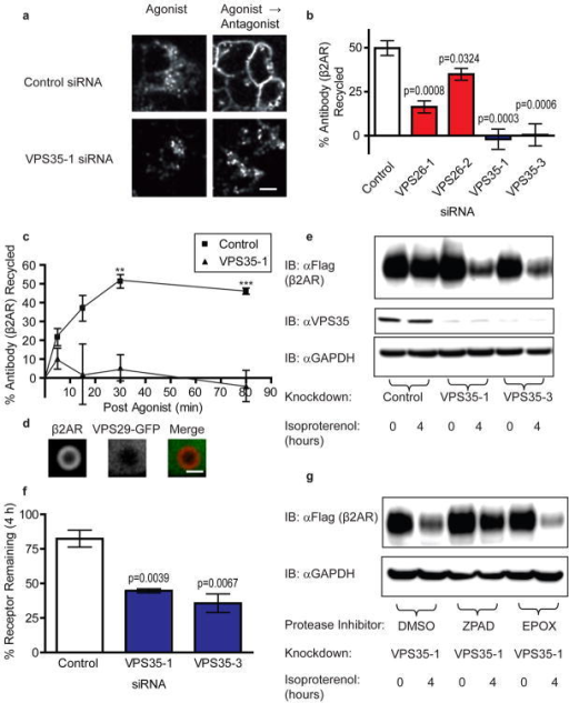 "Knockdown of retromer by RNAi inhibits β2AR recycling and misroutes internalized β2ARs to lysosomes(a) Representative images from a visual assay for β2AR trafficking are shown. Stably transfected HEK 293 cells expressing FLAG-β2AR were transfected with either control siRNA or siRNA targeting the retromer component VPS35. In the ""Agonist"" condition, cells were incubated in the presence of the β2AR agonist isoproterenol (10 μM) and Alexa-conjugated M1 anti-FLAG for 25 min. In the ""Agonist → Antagonist"" condition, cells were incubated with isoproterenol for 25 min and then for an additional 45 min in the absence of isoproterenol (and in the presence of 10 μM of the β2AR antagonist alprenelol to prevent effects of any residual agonist). The scale bar represents 20 μm. (b) Flow cytometric analysis of β2AR recycling by uptake and efflux of bound M1 anti-FLAG antibody (n=4). (c) A time-course of recycling is shown for β2AR. The experiment was performed as in (b) but the duration after agonist washout was varied (n=4). (d) Representative confocal image from live cell imaging showing an endosome from a VPS35-1 siRNA treated cell expressing FLAG-β2AR (red) and VPS29-GFP (green). The scale bar represents 1 μm. (e) A representative immunoblot assay of agonist induced FLAG-β2AR degradation. Detergent extracts were prepared from HEK 293 cells expressing FLAG-β2AR incubated in the absence of agonist or in the continuous presence of 10 μM isoproterenol for 4 h. Knockdown was verified by VPS35 immunoblot of the same lysates (middle panel), and equal loading was verified by immunoblotting for GAPDH (bottom panel). (f) FLAG-β2AR immunoblots were quantified by scanning densitometry across multiple experiments (n=3), and the percent receptor remaining after 4 h isoproterenol exposure was calculated. (g) Representative immunoblot showing isoproterenol induced β2AR degradation in cells depleted of VPS35 and treated with the vehicle dimethyl sulfoxide (DMSO), the lysosomal cathepsin inhibitor N-CBZ-L-phenylalanyl-L-alanine-diazomethylketone (ZPAD), or the proteosomal inhibitor epoxomicin (EPOX) (n=3). Data points are the mean ± SEM."
