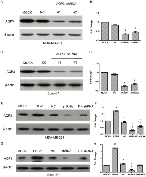 Lentivirus-mediated shRNA inhibits AQP3 expression.Two shRNA-expressing lentivirus vector were transfected into MDA-MB-231 and Bcap-37 cells. After the selection of cells that could stably express shRNA, AQP3 expression was analyzed by Western blot and normalized to β-actin (A to D). A scramble sequence was used as the negative control (NC). In figure E to H, MDA-MB-231 and Bcap-37 cells were stably transfected with lentiviral shRNA1 against AQP3, followed by treatment with or without FGF-2 (10 ng/ml) for 24 h. A scramble sequence was used as the negative control (NC). AQP3 expression was analyzed by Western blot, and normalized to β-actin. The data represented mean ± SEM for triplicate experiments. #P<0.05 versus MOCK.*P<0.05 versus FGF-2 alone.