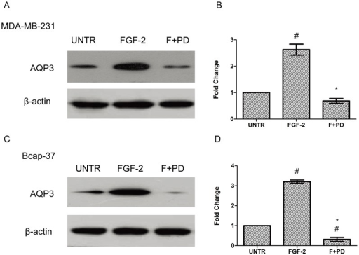 PD173074 significantly inhibits FGF-2-induced AQP3 expression.MDA-MB-231 and Bcap-37 cells were treated with FGF-2 (10 ng/ml) with or without FGFR kinase inhibitor PD173074 (1 µM) for 24 h. AQP3 expression was analyzed by Western Blot and normalized to β-actin. The results represent means ± SEM for triplicate experiments. #P<0.05 versus untreated control (UNTR). *P<0.05 versus FGF-2 alone.