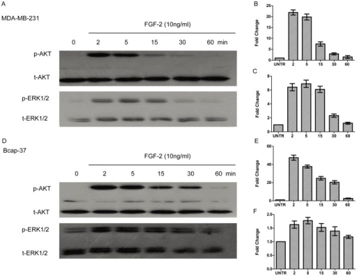 FGF-2 induces AKT and ERK1/2 phosphorylation.For AKT and ERK1/2 phosphorylation, cells were treated with FGF-2 (10 ng/ml) and harvested at (2,5, 15, 30, 60 min). Phospho-AKT (p-AKT) and phospho-ERK1/2 (p-ERK1/2) were analyzed by Western blot and normalized to total AKT(t-AKT) and total-ERK1/2 (t-ERK1/2), respectively. The results represented mean ± SEM for triplicate experiments.