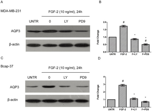 The PI3K and ERK pathways are involved in FGF-2-induced AQP3 expression.MDA-MB-231 and Bcap-37 cells were treated with FGF-2 (10 ng/ml), plus PI3K inhibitor LY294002 (10 µM) and MEK1/2 inhibitor PD98059 (10 µM) for 24 h. AQP3 expression was analyzed by Western blot and normalized to β-actin. The results represented mean ± SEM for triplicate experiments. #P<0.05 versus untreated control (UNTR). *P<0.05 versus FGF-2 alone.