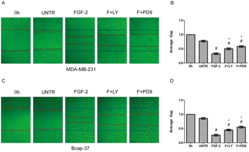 The PI3K and ERK pathways are involved in FGF-2-induced cell migration.MDA-MB-231 and Bcap-37 cells were treated with FGF-2 (10 ng/ml), plus PI3K inhibitor LY294002 (10 µM) and MEK1/2 inhibitor PD98059 (10 µM) for 24 h. Cell migration was examined by wound scratch assay, photographed at 24 h, and quantified as average gap. The results represented mean ± SEM for triplicate experiments. For cell migration experiment, at least 50 cell migration distance were counted for each experiment. #P<0.05 versus untreated control (UNTR). *P<0.05 versus FGF-2 alone.