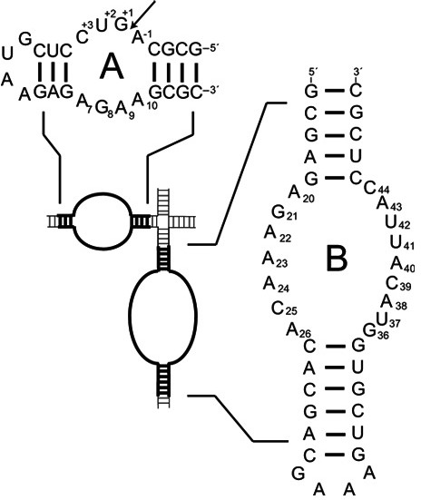 Figure 1. Hairpin ribozyme loop A and loop B constructs used in the present work shown with their context in the native, four-way junction ribozyme. Arrow indicates the site of self-cleavage.