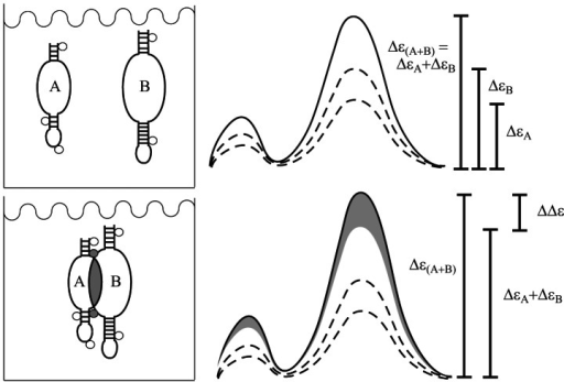 Figure 3. Schematic of the difference CD assay for the binding of ions linked to domain docking. In the absence of any docking, the observed CD spectrum of a mixture of loops A and B [Δε(A+B), solid line] will be the arithmetic sum of those for the individual loops (ΔεA and ΔεB, dashed lines) (top), whereas if docking occurs, a change in the ellipticity from that simple sum will be observed (shaded area, ΔΔε) (bottom). Circles indicate multivalent cations bound to RNA, shaded in the case of ions whose binding is linked to domain docking.