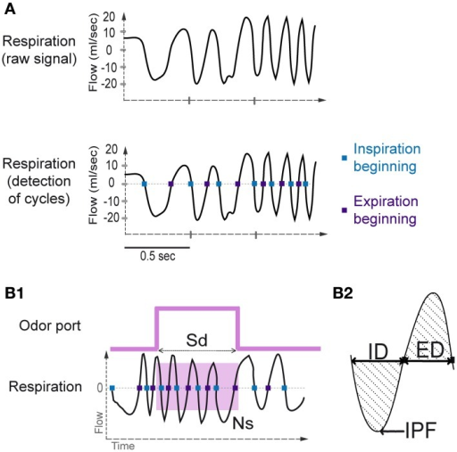 Sniffing signal processing. (A) Top: Raw sniffing signal recorded by the plethysmograph. An algorithm was applied to detect the zero-crossing points. Bottom: The blue squares represent the detection of the beginning of the inspiratory phase, and the violet squares represent the beginning of the expiratory phase. (B1) Sampling duration and number of sniffs. Sampling duration (Sd) is defined as the time spent in the odor port. The number of sniffs (Ns) is defined as the number of sniffs occurring during the sampling period (pink square). (B2) A representative sniff cycle is shown to illustrate the parameters measured: inspiration duration (ID), expiration duration (ED), and inspiration peak flow rate (IPF).