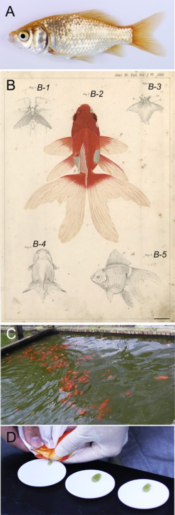 Adult goldfish specimens. A: Lateral view of the common goldfish (the single fin Wakin) strain. B: Illustrations of two goldfish strains by Watase (1887). B-1: Ventral view of the bifurcated anal fin of Ryukin strain. B-2: Dorsal view of Ryukin strain. B-3, 4: Ventral and dorsal views of Ranchu strain; the dorsal fin is absent in this strain. B-5: Lateral view of the Ryukin strain. C: A pond with several goldfish in Taiwan. D: Artificially squeezed goldfish eggs on Teflon dishes. Approximately 500 to 1,000 eggs can be obtained from a single female (approximately 10 cm in length).