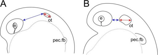 Indices for staging of embryos during the pharyngula period. A,B: Schematic drawings of early (A) and late (B) pharyngula embryos. Blue arrows indicate the shortest distance between the posterior end of the eye and the anterior end of the otic vesicle (dist. e. ot). Red arrows indicate the length of the major axis of the otic vesicle (l. ot). The percentage of otic vesicle closure (OVC) is defined as l. ot/l. ot + dist. e. ot. e, eye; ot, otic vesicle; pec. fb, pectoral fin bud.