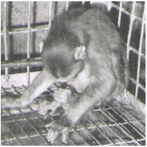 Photograph of monkey 46 DPI fed 12,000 eggs showing acute pressure syndrome and rapidly developing paralysis of hind quarter.