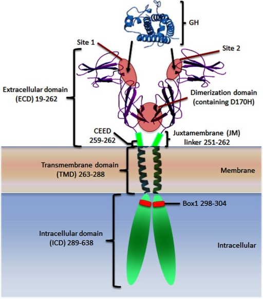 Growth hormone and the growth hormone receptorCrystal structure of the growth hormone and the growth hormone receptor extracellular domain with illustration representing the extracellular juxtamembrane linker, transmembrane domain, intracellular domain and Box1 motif. The growth hormone high affinity site 1 and lower affinity site 2 which are supplemented by receptor–receptor binding in the lower FNIII dimerization domain (site 3) are indicated.
