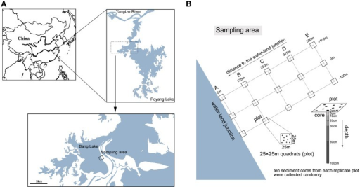 Maps of sampling stations. (A) The sampling sites in the Bang Lake of the Poyang Lake wetland. (B) Core sediment samples were collected from a range of beach wetland locations along gradients of depth and distance to the water-land junction. We sampled 5 sediment locations (A, B, C, D and E), which were 0, 125, 250, 375, and 500 m from the water-land junction, respectively. Three 25 × 25 m quadrats (plots) that were 100 m apart were established in each location. From each replicate plot, 10 sediment cores (diameter 2.5 cm) were collected and pooled.