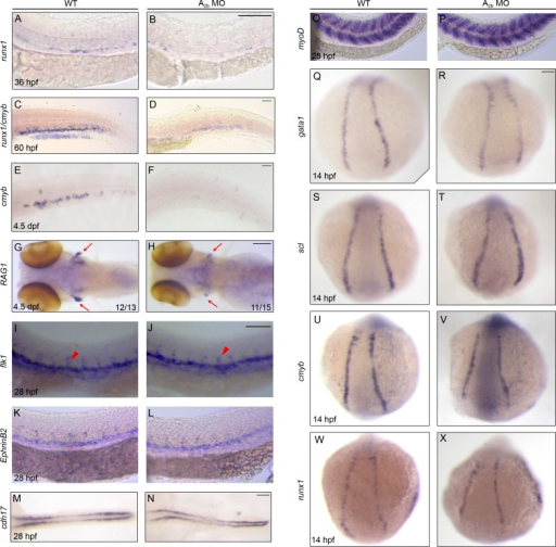 Adenosine signaling through A2b specifically regulates HSPC development. (A–H) Control or A2b MO–injected embryos stained for runx1 in the AGM at 36 hpf (A and B), runx1/cmyb in the CHT at 60 hpf (C and D), cmyb in the CHT (E and F), and RAG1 in the thymus (red arrows in G and H) at 4.5 dpf. (I–X) Control or A2b MO–injected embryos stained for vasculature (flk1; I and J), dorsal aorta (ephrinB2; K and L), pronephros (cdh17; M and N), and somite (myoD; O and P), primitive hematopoiesis (gata1 and scl; Q–T), and cmyb and runx1 (U–X) at the developmental stages indicated. In I and J, red arrowheads mark intersegment staining. Bars, 100 µm.