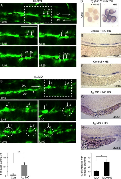 Adenosine signaling is required for EHT in zebrafish. (A and B) Still images from in vivo time-lapse confocal imaging of Tg(flk1:GFP) embryos between 32 and 48 hpf. Embryos are either uninjected (A) or injected with A2b MO (B). Numbers indicate recording time in hours and minutes. Arrows in A point to three aorta cells undergoing successful EHT. Cells 2a and 2b are the daughter cells of cell 2. The two dorsal aorta cells 1′ and 2′ in B initiate EHT and burst into pieces (marked by circles). (C) Quantification of the number of flk1:GFP+ cells per somite undergoing burst during the 16-h time-lapse period. The results are presented as mean ± SE (Student's t test: **, P < 0.01; n = 6–8 embryos per group). (D) Tg(hsp70:runx1) embryos stained for runx1 without heat shock (HS) induction or after heat shock induction. (E–H) Expression of cmyb at 36 hpf in Tg(hsp70:runx1) embryos. Embryos were either uninjected (E and F) or injected with A2b MO (G and H). Embryos either received no heat shock treatment (E and G) or received heat shock induction (F and H). The numbers are combined from multiple experiments. (I) Quantification of the experiments in G and H. The results are presented as the mean percentage of embryos with rescued cmyb staining as in H ± SE (Student's t test: *, P < 0.05; n = 3 experiments, around 20 embryos per experiment). Bars: (A and B) 50 µm; (D) 250 µm; (E–H) 100 µm.