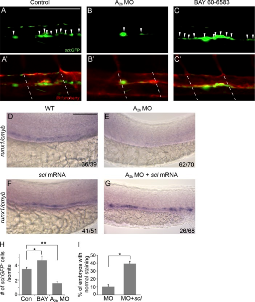 Adenosine signaling regulates hemogenic vascular endothelium. (A–C′) Confocal imaging of Tg(sclβ:d2eGFP; flk1:mcherry) embryos at 30 hpf. Control embryos (A and A′), embryos injected with A2b MO (B and B′), and embryos treated with 10 µM BAY 60-6583 (C and C′) are shown. Arrowheads indicate the hemogenic endothelial cells marked by sclβ:GFP+. Dashed lines mark the somite boundaries. (D–G) Expression of runx1/cmyb in the AGM of control embryos (D), embryos injected with A2b MO (E), and scl mRNA–injected (F) and A2b MO– and scl mRNA–co-injected embryos (G). The numbers are combined from multiple experiments. (H) Summary of the number of sclβ:GFP+ hemogenic endothelial cells per somite. The results are presented as mean ± SE (Student's t test: *, P < 0.05; **, P < 0.01; n = 5–8 per group). (I) Quantification of the experiments in E and G. The results are presented as the mean percentage of embryos with runx1/cmyb staining as in G ± SE (Student's t test: *, P < 0.05; n = 3 experiments, around 20 embryos per experiment). Bars, 100 µm.