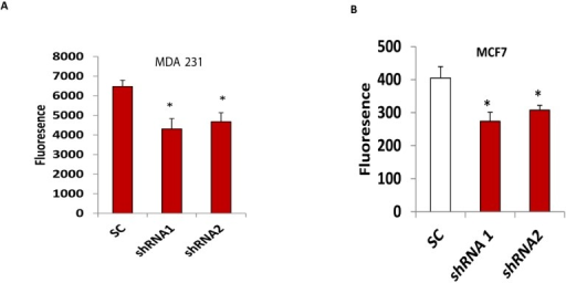 Silencing CLDN1 inhibits breast cancer cell invasion. (A,B) Invasion of two CLDN1 lentiviral shRNA transduced MDA-MB-231 (A) and MCF7 (B) cells were compared with SC transduced controls. Data were presented from three independent experiments (* p < 0.05).