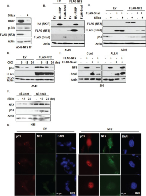 Involvement of NF2 in RKIP-Snail-p53 network(A) NF2 expression is reduced by silica. When RKIP was reduced by silica (10 μg/ml, 6 hr), NF2 expression was also drop-downed. (B) RKIP transfection induces NF2 expression. FLAG-NF2 was co-transfected with RKIP and Snail into A549 cells. Each vectors were transfected for 24 hr. (C) Snail did not co-exist with NF2 expression. In co-transfected cell with NF2 and Snail, both proteins were disappeared. FLAG-NF2 was co-transfected with Snail into A549 cells. Each vectors were transfected for 24 hr, and then silica was treated for 24 hr. And WB analysis was performed with indicated antibodies. EV indicated the empty vector, and Actin was used as loading control. (D) NF2 induces p53 expression. A549 cells were transfected with FLAG-NF2 for 24 hr and incubated with cyclohexamide (CHX; 100 μg/ml) for 6 to 24 hr. WB analysis was performed. Actin was used as loading control. (E) Proteasome inhibitor blocks NF2-Snail reduction in co-transfected cells. 293 cells were transfected with Snail and/or NF2 for 3 hr and incubated with 6 hr with 100 μM of ALLN. (F) Snail knock down induces NF2 expression in H28. At the same sample of Figure 4f, we checked the expression of NF2. (G) NF2 transfection increases nuclear p53 expression in H28 cell line. FLAG-NF2 was transfected for 24 hr. The cells were stained with anti-p53 (DO-1; red), NF2 (green), DAPI (blue).