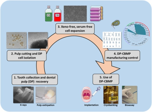 Standardization of the DP-CBMP manufacturing process. It requires five major steps: tooth selection and use of the easiest technique for pulp recovery (Step 1), HDPC isolation with fast, safe and less expensive procedures (Step 2), cell expansion in defined, serum-free culture conditions with xeno-free reagents (Step 3), advanced monitoring and control of DP-CBMP manufacturing (Step 4), use of clinical-grade DP-CMBP, for immediate implantation, cryobanking or development of a bioassay (Step 5).