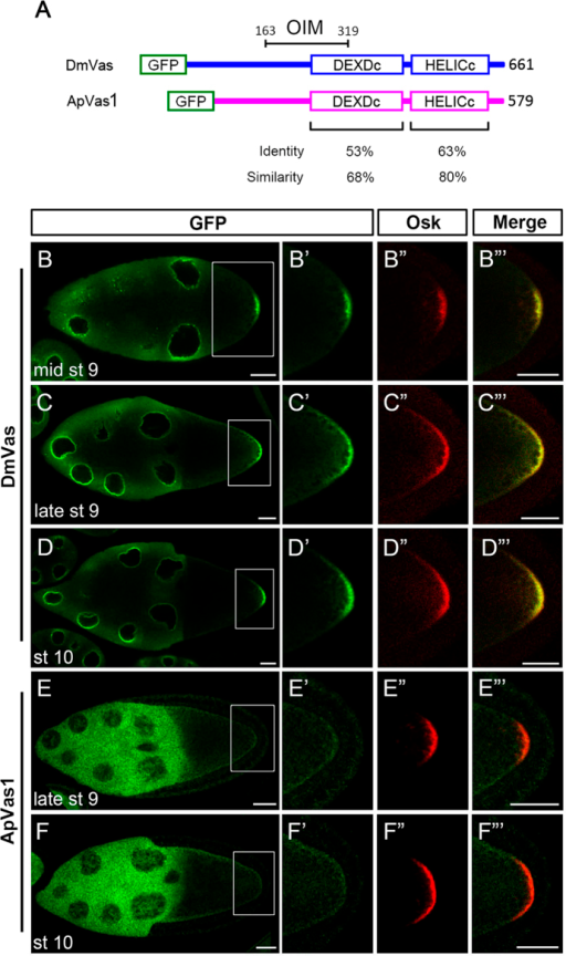 "ApVas1 was not colocalised with Oskar (Osk) to the posterior germ plasm of Drosophila oocyte.(A) Schematic alignment of Drosophila Vasa (DmVas) and the pea aphid Vasa (ApVas1). Open boxes show the green fluorescent protein (GFP) tag, the DEAD-like helicases superfamily (DEXDc), and helicase superfamily C-terminal (HELICc) domains. Sequence identity and similarity are highlighted beneath the domain boxes. Location of the Osk interacting motif (OIM) of DmVas: amino acids 163–319. (B–D) Posterior localisation of GFP-DmVas in the oocyte of Stage-9–10 egg chambers. (E,F) Expression of GFP-ApVas1 in the late Stage-9 and Stage-10 egg chambers. Posterior localisation of GFP-ApVas1 was not identified. (B'–F') Magnification of the insets shown in (B–F). (B""–F"") Posterior localisation of Osk. (B""'–F""') Merged images. The egg chambers were double stained using antibodies against GFP (green) and Osk (red). In all panels, anterior is to the left and posterior is to the right. Scale bars, 25 μm."