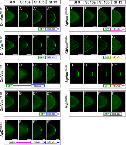 "Localisation analysis of truncated Drosophila Vasa (DmVas) proteins, chimeric Vas proteins, and helicase superfamily C-terminal domains (HELICc) from other animal species.All Vas proteins were green fluorescent protein (GFP)-tagged and analyses were performed in egg chambers from Stages 9–13 of oogenesis. Each panel shows the posterior half of the oocyte. (A–A""') GFP-DmVas460–661: sequence N-terminal to HELICc was truncated; (B–B""') GFP-DmVas460–621/HELICc (abbreviated as DmVas460–621): a sole HELICc. Posterior localisation of DmVas460–661 and DmVas460–621/HELICc was detected; (C–C""') GFP-DmVas1–460: a C-terminal truncated DmVas polypeptide without the HELICc and C-terminal sequences. (D–D""') GFP-DmVas470–661: an N-terminal truncated DmVas polypeptide without the N-terminal sequence, DEXDc, and 10 residues in the N-terminus of HELICc. Posterior localisation of DmVas1–460 and DmVas470–661 was not detected; (E–E""') GFP-ApDHELICc: a ApVas1–DmVas chimeric protein in which the N-terminal sequence and most of the DEXDc domain sequences of DmVas were replaced by those from ApVas1. Posterior localisation was detected; (F–F""' to I–I""') GFP-tagged HELICc of Vas orthologs from the pea aphid (F–F""', GFP-ApVas1HELICc), cricket (G–G""', GFP-GbVasHELICc), grasshopper (H–H""', GFP-SgVasHELICc), and mouse (I–I""', GFP-MvhHELICc). Posterior localisation could be detected only in the egg chamber expressing SgVasHELICc (H–H""'). In all panels, anterior is to the left and posterior is to the right. Scale bars, 25 μm."