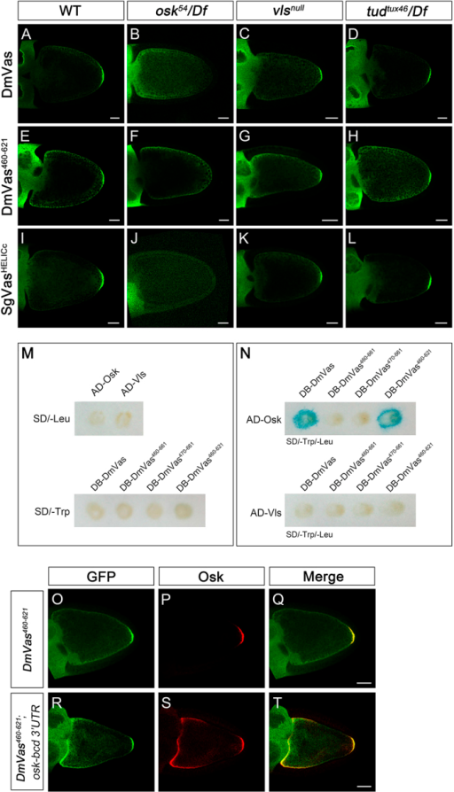 Oskar (Osk) interacts with the helicase superfamily C-terminal domain (HELICc) of Drosophila Vasa (DmVas) in vivo and in vitro.(A–L) Localisation analyses of (A–D) green fluorescent protein (GFP)-DmVas, (E–H) GFP-Vas460–621/HELICc, and (I–L) GFP-SgVasHELICc were performed in egg chambers at Stage 10 by immunostaining with the anti-GFP antibody. Genetic backgrounds: (A,E,I) Wild-type; (B,F,J) osk mutant with the genotype osk54/Df(3R)pXT103; (C,G,K) vls  mutant with the genotype Df(2L)Pr2b,P[barren+]/Df(2L)be408; (D,H,L) tud mutant with the genotype tudtux46/Df(2R)PF1. All the 3 GFP-tagged Vas proteins could be localised to the posterior germ plasm, except in the osk mutant background. (M,N) Yeast two-hybrid analysis performed using the β-galactosidase colony lift filter assay. (M) None of the singly transformed 'bait' and 'prey' plasmids could induce the expression of the lacZ reporter. (N) Osk could interact with full-length DmVas and DmVas460–621/HELICc. (O–T) Stage-10 egg chambers were stained with the anti-GFP (green) and anti-Osk antibodies (red). (Q,T) Merged images. (O–Q) GFP-DmVas460–621/HELICc was colocalised with Osk in the germ plasm. (R–T) In the egg chambers coexpressing the GFP-DmVas460–621/HELICc and osk-bcd 3′UTR transcripts, the GFP-DmVas460–621/HELICc was colocalised with Osk in the anterior and posterior poles of the oocyte. In the panels with egg chambers (A–L,O–T), anterior is to the left and posterior is to the right. The DmVas460–621/HELICc is abbreviated as DmVas460–621 in all the panels. Scale bars, 25 μm.
