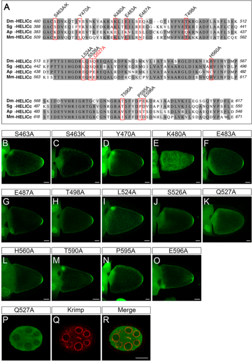 Identification of amino acid residues essential to the posterior localisation of Drosophila Vasa (DmVas) in the helicase superfamily C-terminal domain (HELICc).(A) Multiple sequence alignment of HELICc domains belonging to Vas orthologs of Drosophila melanogaster (Dm), the grasshopper Schistocerca gregaria (Sg), the pea aphid Acyrthosiphon pisum (Ap), and the mouse Mus musculus (Mm). Dark grey: conserved residues, Light grey: residues with similar properties. Residues substituted by Ala or Lys for the localisation assays shown in panels (B–O) are highlighted with red boxes. (B–O) Localisation analysis of green fluorescent protein (GFP)-tagged DmVas460–661 proteins with replaced amino acid residues in the HELICc sequence. Stage-10 egg chambers were stained using the anti-GFP antibody (green). Anterior is to the left and posterior is to the right. Scale bars, 25 μm. (B) DmVas460–661/S463A: replacement of the Ser463 with Ala is designated as S463A, and this applies to the other replacements. (C) DmVas460–661/S463K. (D) DmVas460–661/Y470A. (E) DmVas460–661/K480A. (F) DmVas460–661/483A. (G) DmVas460–661/E487A. (H) DmVas460–661/T498A. (I) DmVas460–661/L524A. (J) DmVas460–661/S526A. (K) DmVas460–661/Q527A. (L) DmVas460–661/H560A. (M) DmVas460–661/T590A. (N) DmVas460–661/P595A. (O) DmVas460–661/E596A. All of the previously described DmVas460–661 variants could be localised to the germ plasm, except DmVas460–661/Q527A, shown in panel (K). (P–R) Stage-5 egg chambers expressing GFP-DmVas460–661/Q527A were double stained using the anti-GFP (green) and anti-Krimp antibodies (red). (P) GFP-DmVas460–661/Q527A was not colocalised with (Q) Krimp in the nurse cells. Anterior is to the left and posterior is to the right. Scale bars, 20 μm.