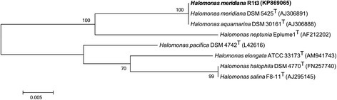 Phylogenetic tree of select Halomonas type species and H. meridiana strain R1t3. The phylogenetic placement H. meridiana strain R1t3 in relation to select type species of marine and salt-tolerant Halomonas. Sequences from the 16S rRNA gene were aligned with MUSCLE and trimmed to 1154 bp, the length of the shortest sequence. Evolutionary history was inferred using the Maximum Likelihood method based on the Tamura-Nei model [26]. Branch lengths are measured in the number of substitutions per site. Branch labels indicate the percentage of trees in which the associated taxa were clustered based on 500 bootstraps using MEGA v 5.2.2 [27]. Genome sequences are not currently available for any of the type strains included in this figure